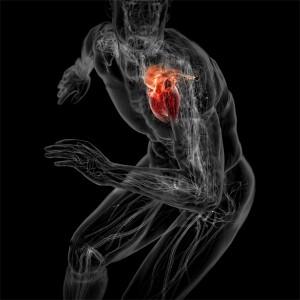 Сердце - главный орган