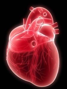 Сердце - самый важный орган человека