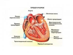 Предсердия и желудочки - особенности расположения