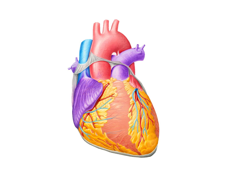 Фото сердца человека для детей
