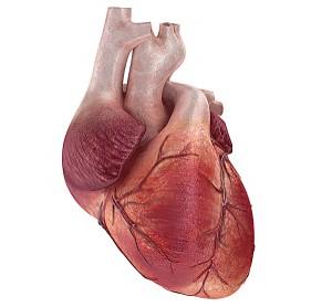 Сердце - главный орган человека