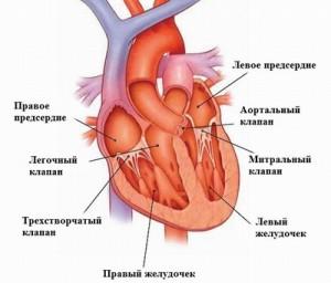 Сведения о работе сердца